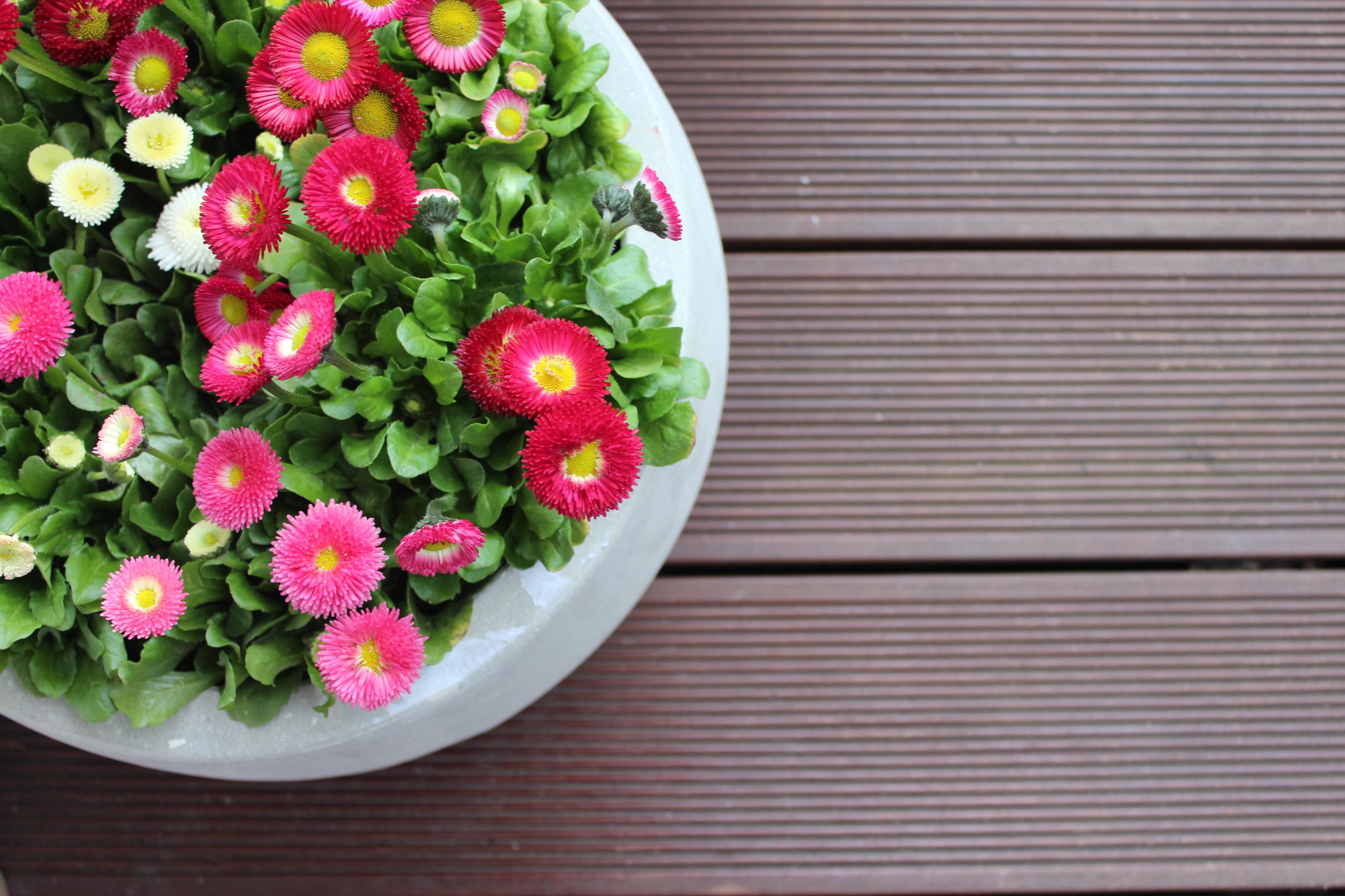 Pedantula Pierwsze Kwiaty Na Balkon To Już Wiosna